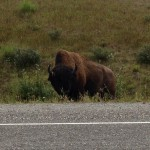 Bison looking at me