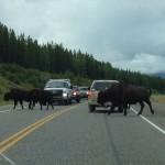 Bison crossing the Alaskan Highway