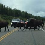 Bison crossing the Alaskan Highway - with calves!