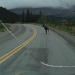 Another caribou! He wouldn't get out of the road.